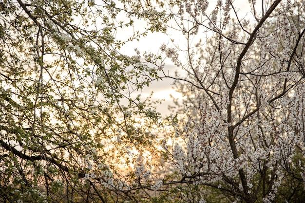 Zweige von blühenden bäumen am abend bei sonnenuntergang