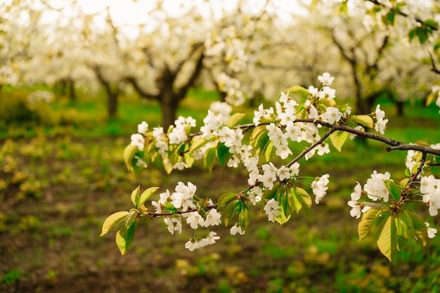 Zweige von blühenden frühlingsbäumen in der sonne. blumenduft im obstgarten. aromatherapie.