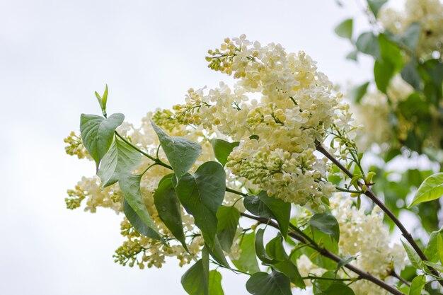 Zweige von blühenden weißen fliedern gegen den himmel. regentropfen auf grünen blättern.
