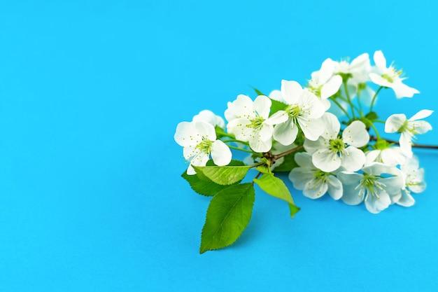 Zweige von blühenden weißen frühlingsapfelbaumblumen auf hellblauem tourquase-papierhintergrund