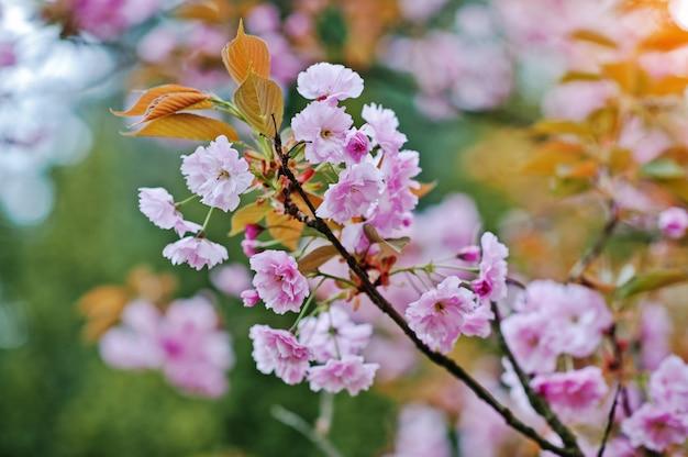 Zweige von kirschbaumblüten