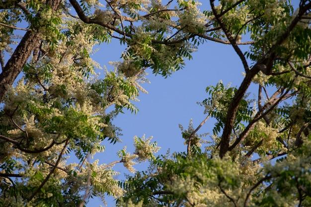 Zweige von neem im winter.