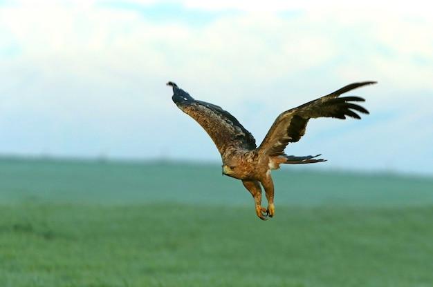 Zweijährige frau des spanischen kaiseradlers, die am ersten morgenlicht an einem kalten wintertag fliegt