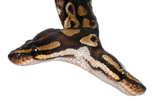 Zweiköpfige python royal python oder ball python - python regius