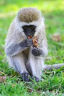 Zwergaffe (chlorocebus pygerythrus) in einem naturschutzgebiet in südafrika