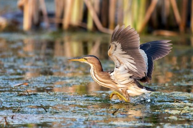 Zwergdommel (ixobrychus minutus) steht mit ausgebreiteten flügeln im wasser.