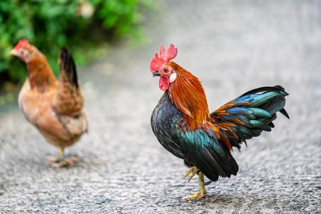 Zwerghühner oder ayam kate ist eine kleine sorte von geflügel, insbesondere hühner