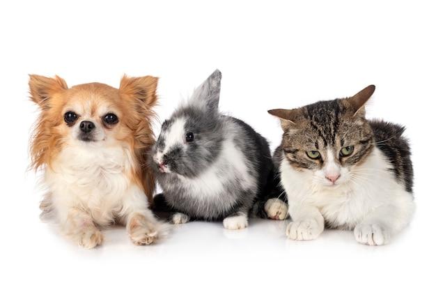 Zwergkaninchen, chihuahua und katze