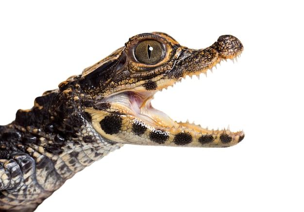 Zwergkrokodil, osteolaemus tetraspis, auch bekannt als afrikanisches zwergkrokodil, breitschnauzenkrokodil oder knöchernes krokodil, das die kamera gegen weiß betrachtet