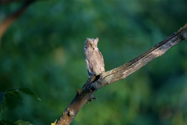Zwergohreulenküken werden einzeln und zusammen fotografiert. vögel sitzen auf einem trockenen ast eines baumes vor einem verschwommenen hintergrund in den strahlen der weichen abendsonne.