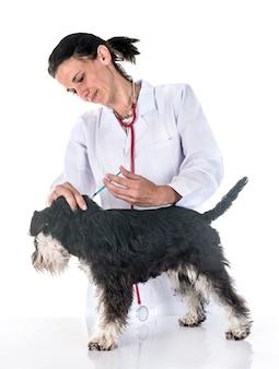 Zwergschnauzer und tierarzt