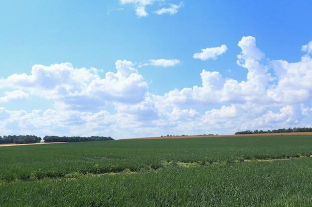 Zwiebelfelder im sommer unter der sonne