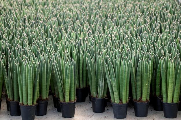 Zylindrische schlangenpflanze oder sansevieria cylindrica im schwarzen topf.