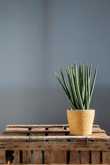 Zylindrische schlangenpflanze (sansevieria cylindrica) pflanzenhaus