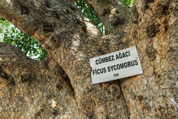 Zypern, der kathedralen-feigenbaum in famagusta.