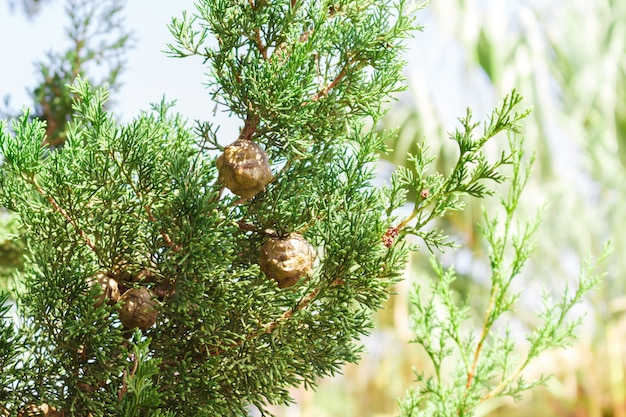 Zypressenbaumniederlassungen mit kegeln am sonnigen tag