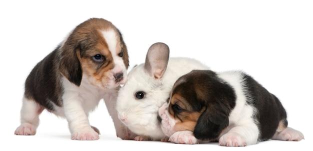 1か月の2つのビーグル子犬と12か月のウィルソンチンチラ