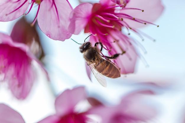 1月から2月の間にミツバチはprunus cerasoidesの花から蜜を食べます