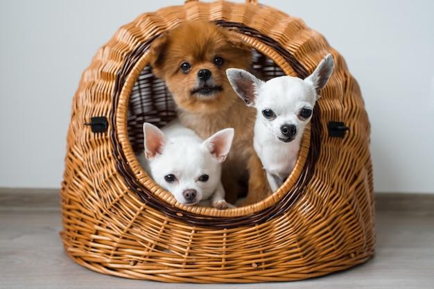 1つの犬小屋を共有するポメラニアン犬と2つの白いチワワの子犬