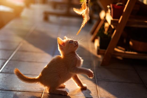 1 개월 된 태국 흰 고양이는 오후 햇빛과 함께 실내에서 고양이 장난감을 재생합니다.