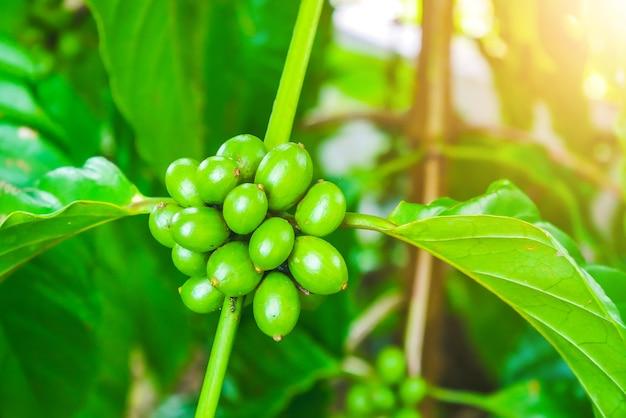 100% organic arabica coffee beans on tree in chiang rai, north of thailand.