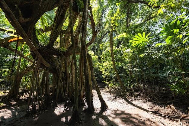 100-летнее баньяновое дерево в весеннем лесу маленькой амазонки или канал сангнаэ летом, пханг-нга,
