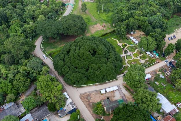サマネアサマンまたは雨の木カンチャナブリで100年以上の最大の木
