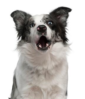ボーダーコリー、生後10ヶ月、吠える。分離された犬の肖像画