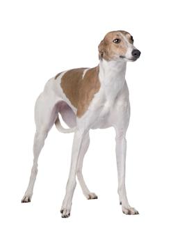 分離された15ヶ月の肖像画とグレイハウンド犬
