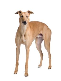 17ヶ月のグレイハウンド犬。