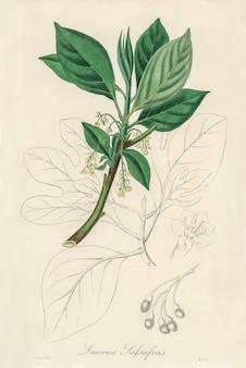 Сассафрас (лавр сассафрас) иллюстрация из медицинской ботаники (1836)