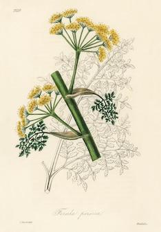 医療植物学(1836年)からのフェルラ・ペルシカのイラスト