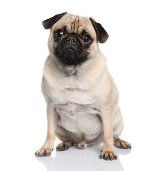 Мопс сидит с 18 месяцев. портрет собаки изолированный