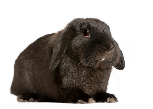 Вислый кролик с 18 месяцев. портрет собаки изолированный