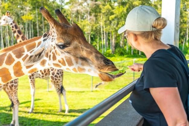 Флорида, сша - 19 сентября 2019: кормление жирафов в lion country safari park в уэст-палм-бич, флорида