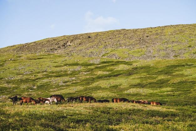 いくつかの茶色の馬の中の1つの白い馬が日光の下で丘の中腹に放牧します。緑の山の牧草地に馬の美しい群れと鮮やかな高山の風景。高原の自然の美しい日当たりの良い風景。