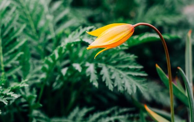 鮮やかな緑色の背景に対して1つの黄色の野生のチューリップ