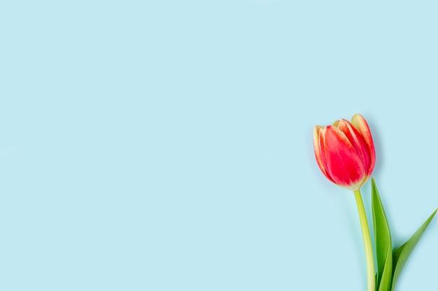 ピンクの背景の1つの新鮮な青いチューリップのグリーティングカード。女性、母、バレンタイン、誕生日、その他のイベントの背景。レタリングのフラットレイモックアップまたはテキストのコピースペース