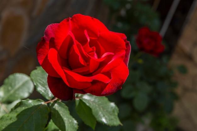 庭に1つの美しい赤いバラ。