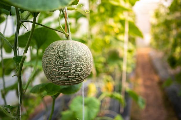 畑に1つのメロンフルーツ