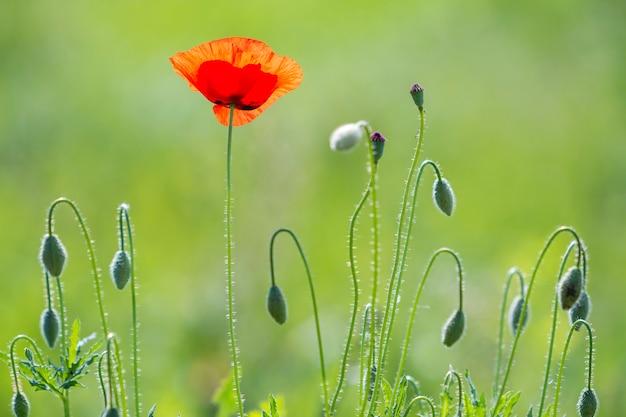 夏の太陽に照らされた柔らかい咲くのクローズアップ1つの赤い野生ケシとぼやけて明るい緑の夏の表面の高い茎の原液の花芽。自然概念の美しさと優しさ。