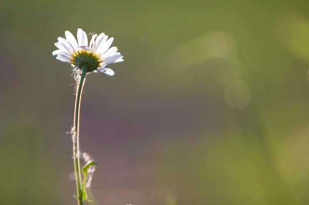 ぼやけた霧の高い茎に咲く朝日に照らされた明るい黄色の心を持つ1つの柔らかい美しいシンプルな白いデイジーのクローズアップ。美しさと自然の概念の背景の調和