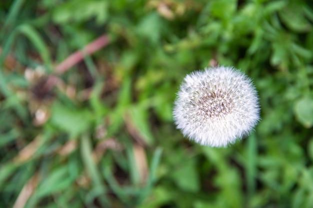 夏に緑の野原で1つの白いタンポポ