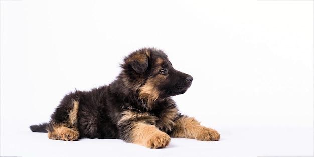 白い背景の上の1つのジャーマンシェパードの子犬