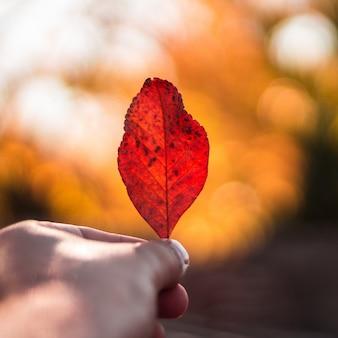 1つの赤い葉を持っている人の選択的なクローズアップショット
