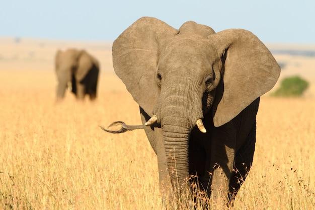 1つの壊れた牙を持つ美しい象