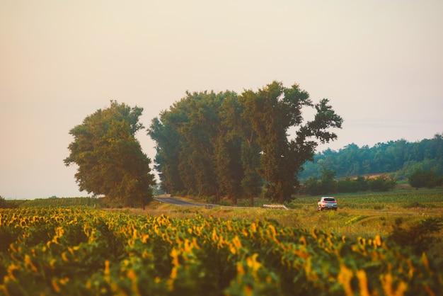 朝の日の出の間にヒマワリと美しいランドマークの道の真ん中に1台の車の写真。