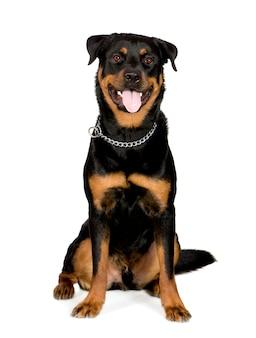 Ротвейлер с 1 года. портрет собаки изолированный