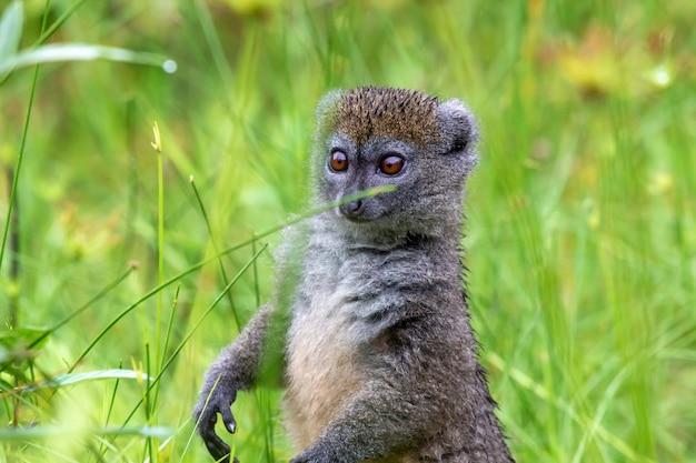 背の高い草の間の1つの竹キツネザルは好奇心が強い