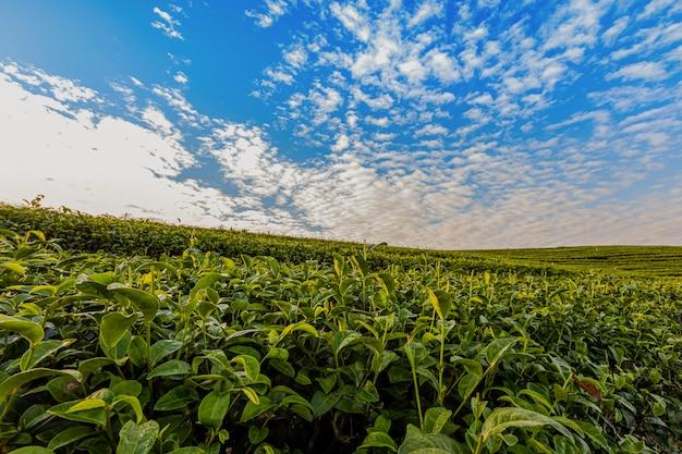 チョイフォン緑茶農園の朝の光は、メーチャン地区の美しい農業観光スポットの1つです。